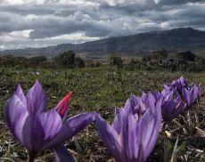 Lo zafferano è una delle eccellenze di Montalcino