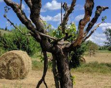 """""""Montalcino Wine Tree"""", parte il countdown per la raccolta fondi"""
