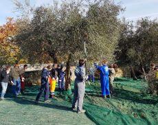 Studenti dell'Agrario fanno pratica con la raccolta delle olive