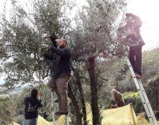 Quartieranti del Pianello impegnati nella raccolta delle olive