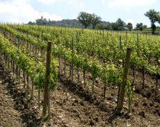 Le vigne di Montalcino